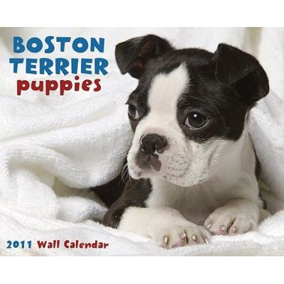 Boston Terrier Puppies Wall Calendar (Calendar, 2011): Willow Creek Press