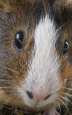 Guinea Pig in Your Face - Cute Journal 120 Page, 5x8, Lined Blank Book with a Cute Cavy (Paperback): S'Cute Press