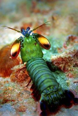 Peacock Mantis Shrimp Journal - 150 Page Lined Notebook/Diary (Paperback): Cool Image