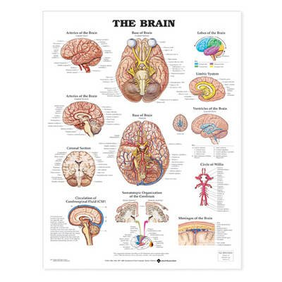 The Brain Anatomical Chart (Wallchart, 5th): Anatomical Chart Company