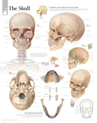 Skull Laminated Poster (Poster): Scientific Publishing