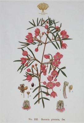 Maxwell & Williams Royal Botanic Garden Tea Towel (50x70cm | Boronia)